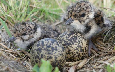Bremer Wiesenvogelschutz auf Erfolgskurs